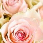Beautiful roses on white — Stock Photo