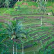 Traditional balinese terraced rice field — Stock Photo