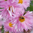 Aster with bee — Stock Photo