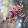 Red ash-berry close-up backgrounde in autumn — Stock Photo