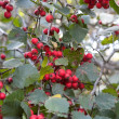 Stock Photo: Red ash-berry