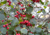Red ash-berry — Stock Photo
