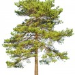 Scotch fir on white - Stock Photo