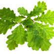 Oak Leaves - Stock Photo