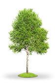 Birch tree isolated on white — Stock Photo