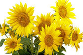 Sunflowers isolated — Stock Photo