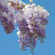 Wisteria — Stock Photo #4193255