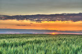 Wheat and sunset — Stock Photo