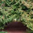 Stock Photo: Arch footpath between coniferous trees