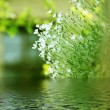 Stock Photo: White summer flowers in the water.