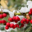 Stock Photo: Red berrys on branch.