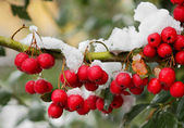 Red berrys on the branch. — Stock Photo