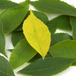 Stock Photo: Uniqueness - Yellow Leaf Among Greens (Centered)
