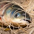 The silver carp caught in a network - Stock Photo