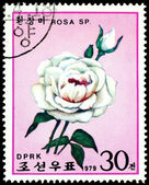 Postage stamp. The Flowerses of the blanching rose. — Stock Photo