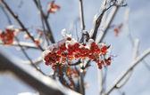 冷凍 ashberry — ストック写真