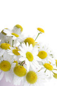 Chamomile isolated — Stock fotografie