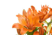 Flowers orange tiger lily — Stock Photo