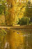野生鸭子是在森林湖 — 图库照片