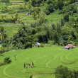 Bali green rice paddy field — ストック写真