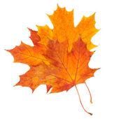 秋天的枫叶上白色隔离 — 图库照片