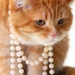 Portrait of beautiful cat in pearl — Stock Photo