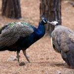 Kissing birds peacocks. Love concept — Stock Photo