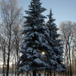 Stock Photo: Winter spruce trees covered by snow