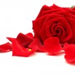 Red rose and rose petals on white — Stock Photo #4660969