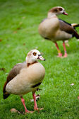 Two wild ducks — Stock Photo