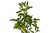 Green mandarins on a tree — Stock Photo
