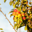 Apples on branch — Stock Photo