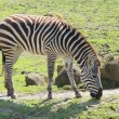 Stock Photo: Zebra in zoo
