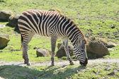 Zebra in zoo — Stock Photo