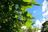 Grüne blätter auf zweige closeup — Stockfoto