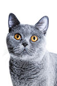 Gray British cat — Stock Photo