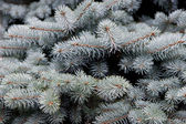 Branches of blue spruce — Stock Photo