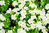 Petunie kwiaty białe z zielonych liści — Zdjęcie stockowe