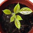 Young plant avocado in a pot — Stock Photo