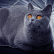 Gray British cat lying in a silver umbrella — Stock Photo