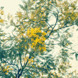 Mimosa branch with yellow flowers - Stock Photo