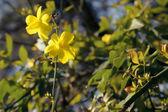 Ramo di gelsomino giapponese cespuglio con fiori gialli — Foto Stock