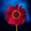 Red beauty flower — Stock Photo