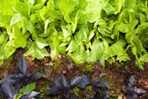 Variety of lettuces — Stock Photo