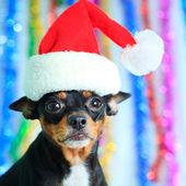Santa dog — Stok fotoğraf