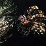 Lionfish — Stock Photo #4627040