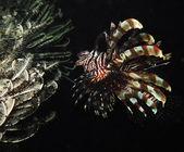 Lionfish — Zdjęcie stockowe