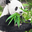 giant panda — Stock Photo #4660776