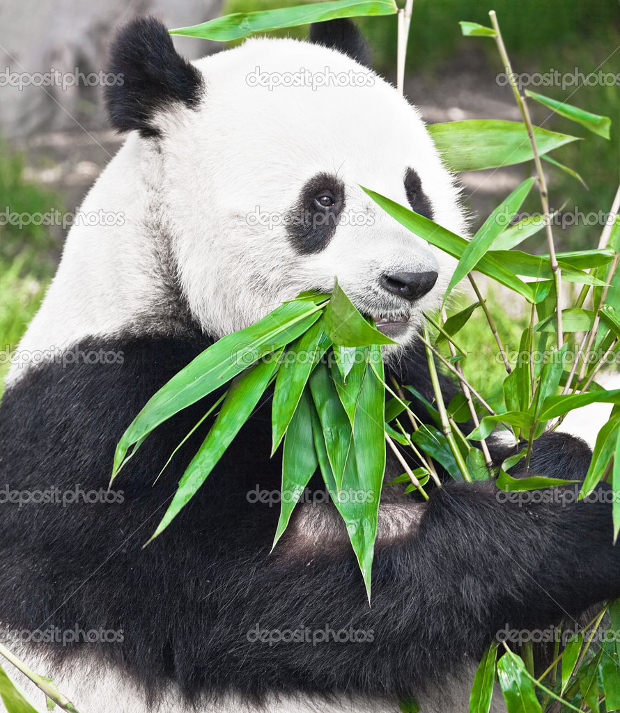 Feeding time. Giant panda eating bamboo leaf — Stock Photo #4660776