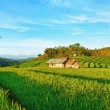 Paddy rice panorama — Stock Photo #5186242